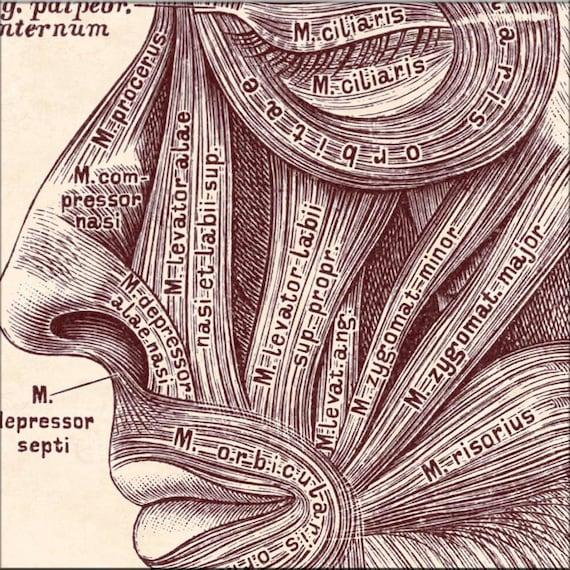 Anatomía arte impresión anatómica músculos de la cabeza