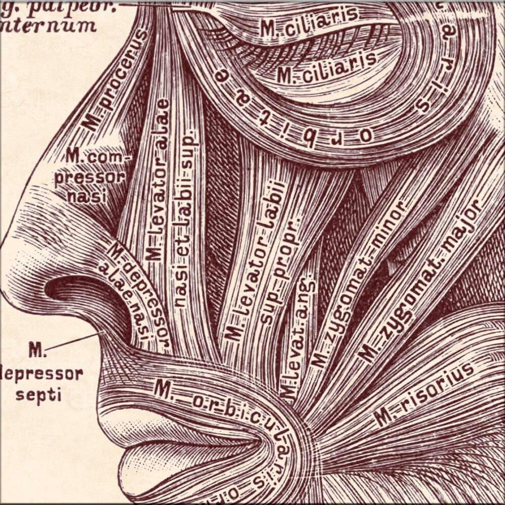 Anatomie-Kunst anatomische Grafik Kopf Gesichtsmuskeln | Etsy