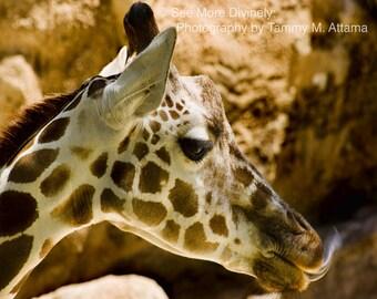Fine Art, Color Wildlife Photography Print 8 x 10 - Giraffe
