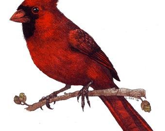"Scarlett Cardinal, 8"" X 10"" Archival Print from Original Watercolor"