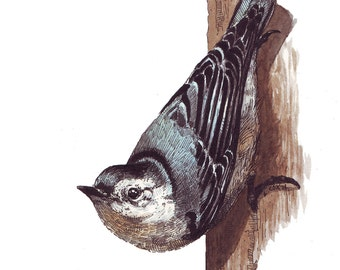 """White-Breasted Nuthatch, 8"""" X 10"""" Archival Print from Original Watercolor"""