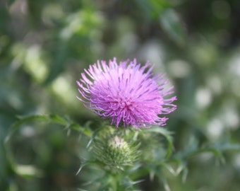 Purple Thistle for  Courage