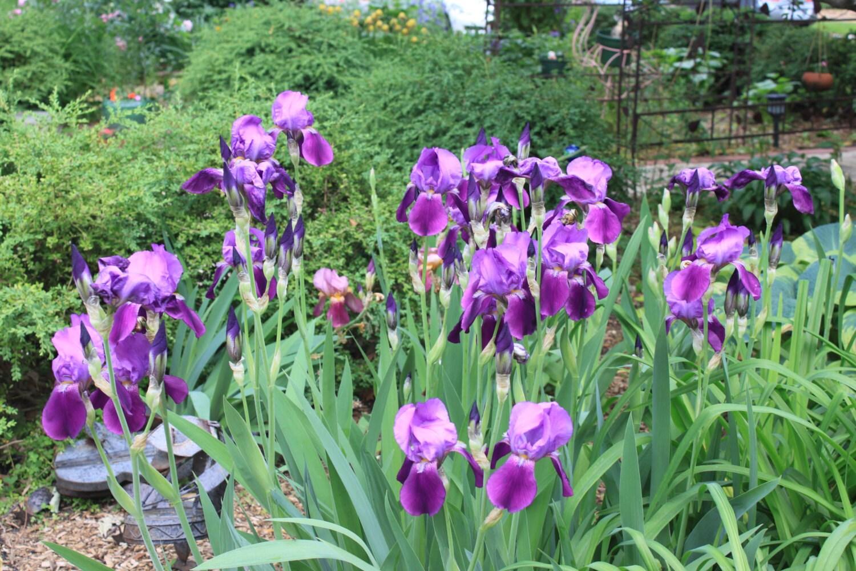 Purple Bearded Iris Flower Essence Soulful Creativity Etsy