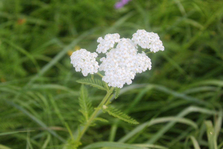 White Yarrow Flower Essence Protection Etsy