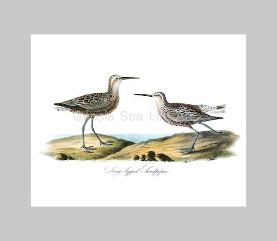 Coastal Decor Sea Bird Print no.1 Sandpiper Audubon Antique | Etsy