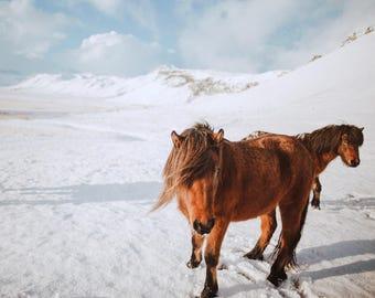 Icelandic Orange Horse in Snow Equestrian Wall Living Room Fine Art Print Photograph Iceland Photo Deep Fuji Matte Teri B Photography