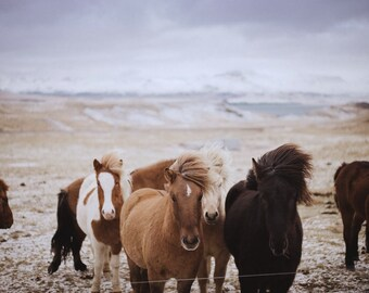 Group of Iceland Horses Standing Together in the Wind // icelandic Print // Photo of Horses// 8x10 Deep Matte Living Room// Leica Photo