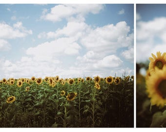sunflower photo set // fields of yellow flowers // 8x10 Matte Living Room Wall Art, country fine art photo, rustic blooms summer wisconsin
