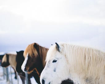 Icelandic Horses standing in a row in the snow // Equestrian Living Room Fine Art Print Photograph// Iceland Matte Teri B Photography 8x10
