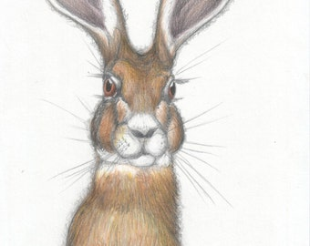 Indian hare