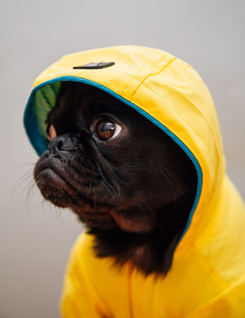 8.5x11 inch  PHOTOGRAPH cute little baby Pug Puppy in a Raincoat      photo ..
