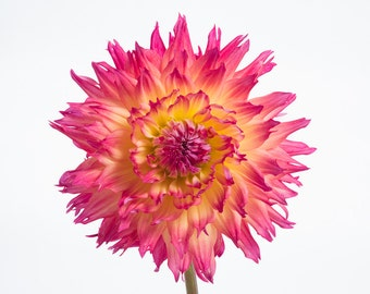 Minimal Dahlia Flower Photography - Contemporary Modern Floral Botanical Pink Yellow