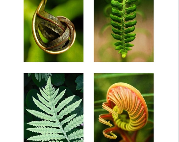 "Set of 4 ""Fern Studies "" 5x7 Greeting Cards, Blank Inside, Professionally Printed on Heavy Classic Felt Card Stock, Folded, White Envelopes"