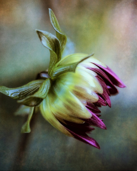 "Limited Edition Metal Art Print ""Romance #1"", Dahlia Flower Photography Printed on Aluminum with Float Mount, 16x20, SPECIAL ORDER ONLY"