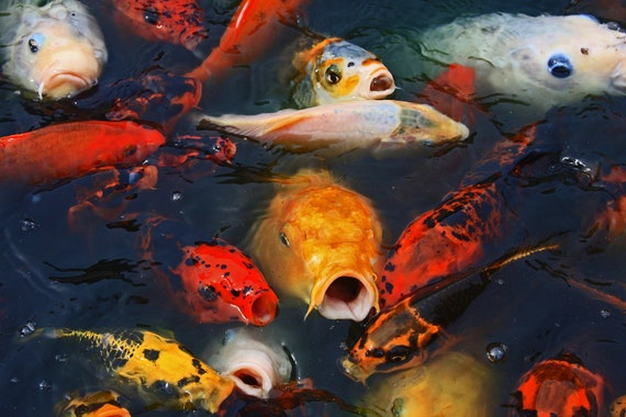 "Limited Edition Metal Art Print ""Feeding Frenzy No. 1"",  Koi Photo Printed on a Brushed Aluminum Box, Various Sizes, SPECIAL ORDER ONLY"
