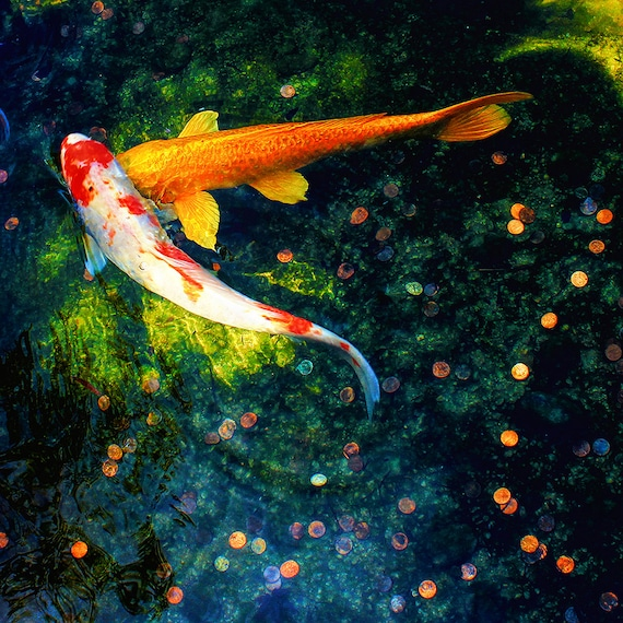 "Metal Art Print ""Lucky in Love"", Koi Photography Printed on a Brushed Aluminum Box, Various Square Sizes, SPECIAL ORDER ONLY"