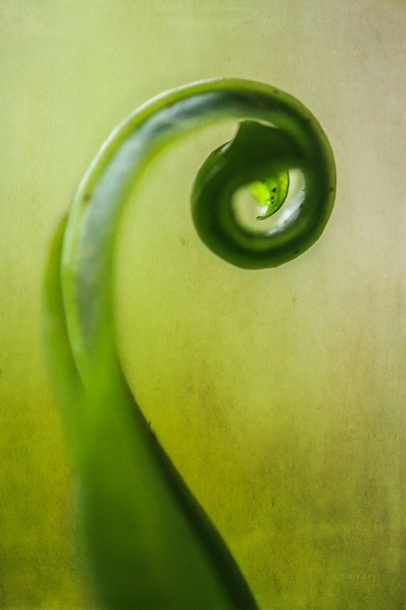 "Limited Edition Metal Art Print ""Scroll"", Fern Photography Printed on a Brushed Aluminum Box, 16x24x1, SPECIAL ORDER ONLY"