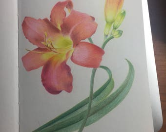 Day lily colored pencil drawing
