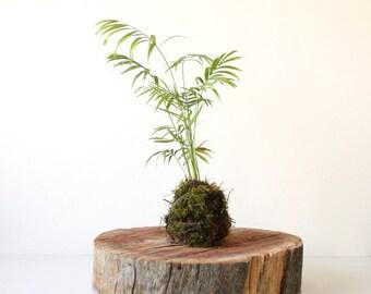 Kokedama Moss Ball Parlour Palm