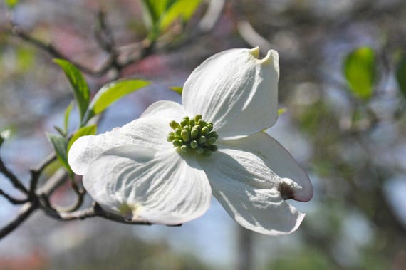 White Dogwood Flower In Bloom Photograph Kentucky Dogwood Etsy