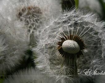 Dandelion Fluff - SALE