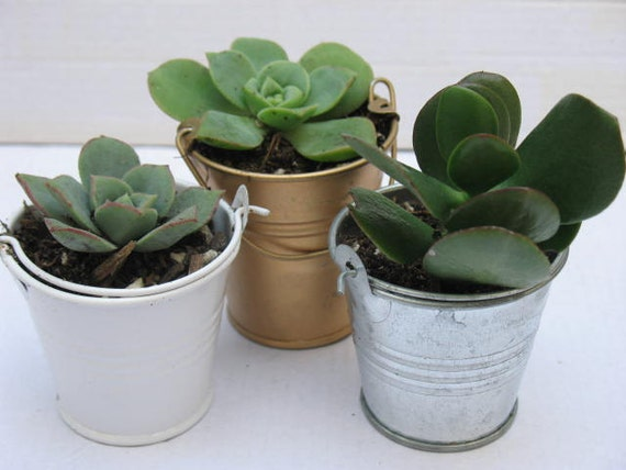 Make perfect Wedding Event Favors Free Transplanting--succulent wedding favors; 50-2/'/'Rosette succulents in its white pails Shower
