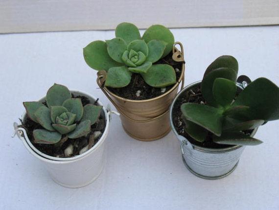 free transplanting succulent wedding favor 30 2 39 39 etsy. Black Bedroom Furniture Sets. Home Design Ideas