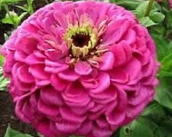 Benary's Giant Lilac Zinnia  Flower Seeds / Annual 35+