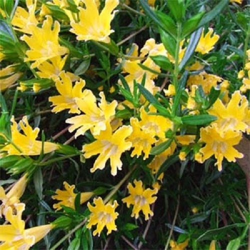 Twinkle yellow mimulus flower seeds monkey flower annual etsy zoom mightylinksfo