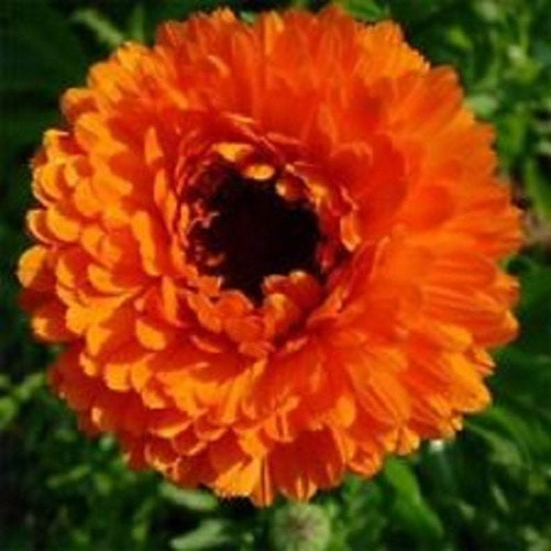 CALENDULA RED//BLACK  FLOWER SEEDS 40 RE-SEEDING ANNUAL