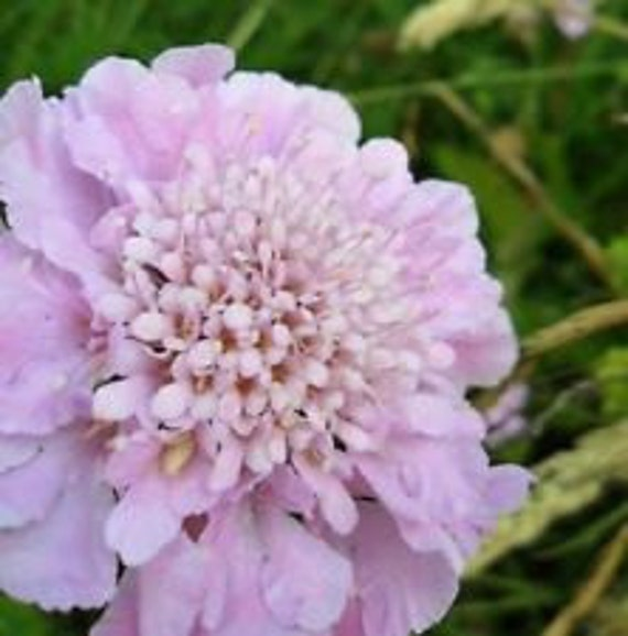 Pink Diamonds Pincushion Flower Seeds Scabiosa Perennial Etsy