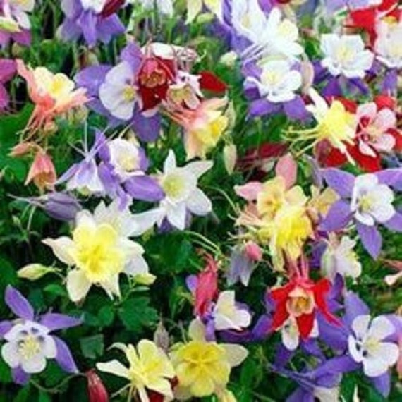 Aquilegia Mix Star Columbine fleurs graines vivace 50 +