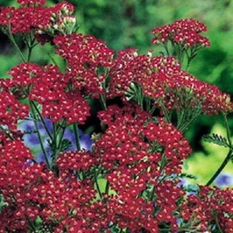 Red Achillea  Flower Seeds   Millefolium Perennial  50+