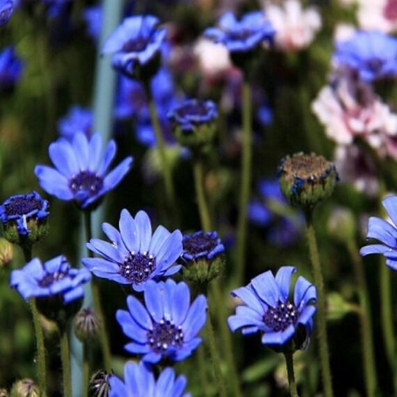 Felicia The Blues Margherita blu Semi OGM non sementi di fiori 50CT Fiore annuale