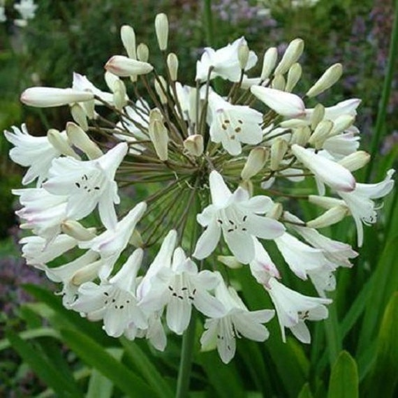 White African Lily Agapanthus Flower Seeds Perennial 25 Etsy