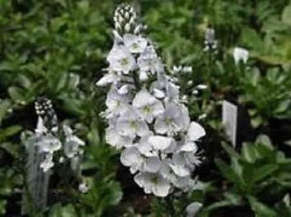White Veronica Alba Flower Seeds Spicata Perennial 50 Etsy