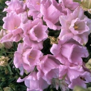 Pink bell flowers etsy 50 double campanula canterbury bells pink 3 foot heirloom perennial flower seeds mightylinksfo