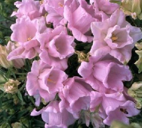 Campanula Canterbury Double Pink Bells Flower Seeds Etsy