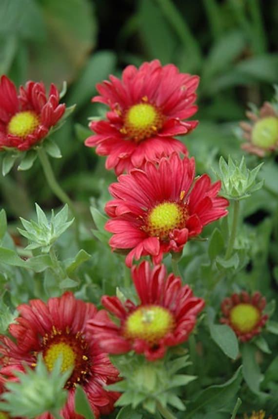 Gaillardia//couverture fleur-sundance 25 graines