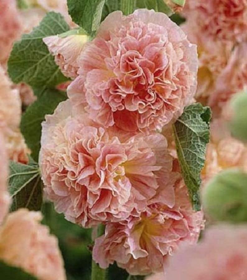 Graines De Fleurs De Rose Tremiere Double Saumon Alcea Etsy