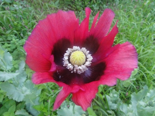 Pepperbox poppy flower seeds papaver annual 50 etsy zoom mightylinksfo