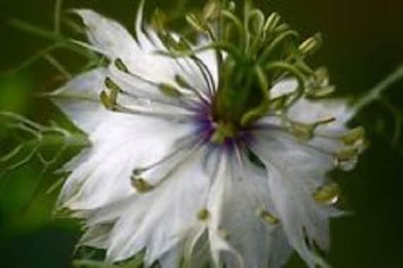 Nigella white love in a mist flower seeds miss jekyll etsy image 0 mightylinksfo