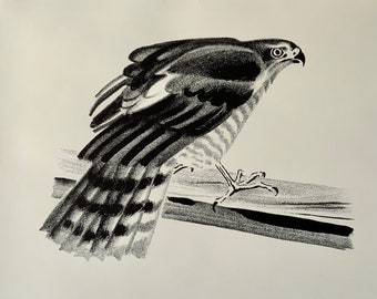 Black and white signed lithograph by Aage Sikker Hansen. Sparrow hawk. Danish mid-century art. Wildlife series.