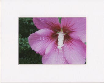 """Rose of Sharon 5""""x7"""" Photograph Print in White 8""""x10"""" Mat"""