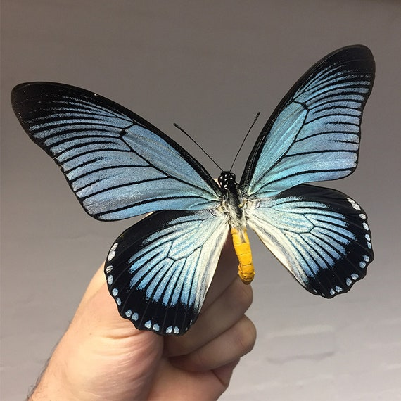 Giant Blue Swallowtail Butterfly in Box Frame Papilio zalmoxis