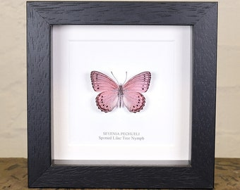 Spotted Lilac Tree Nymph Butterfly in Box Frame (Sevenia pechueli)
