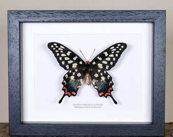 Female Madagascar Giant Swallowtail (Pharmacophagus antenor) Real Mounted Butterfly