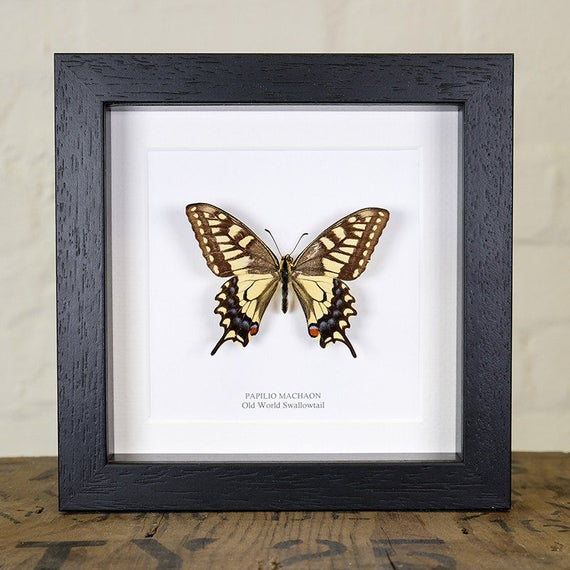 Real Blumei Butterfly Hand Set and Framed In UK Beautiful Gift Taxidermy