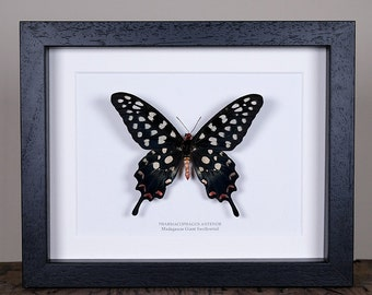 Madagascar Giant Swallowtail (Pharmacophagus antenor) Real Mounted Butterfly