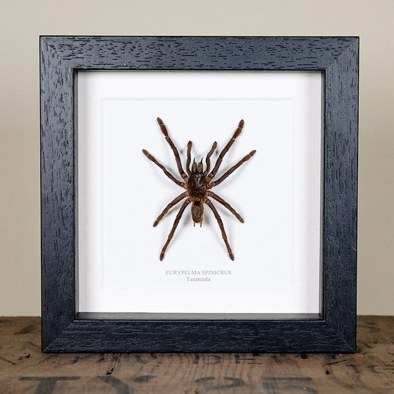 Real insects range Large Tarantula spider with information card on gift box